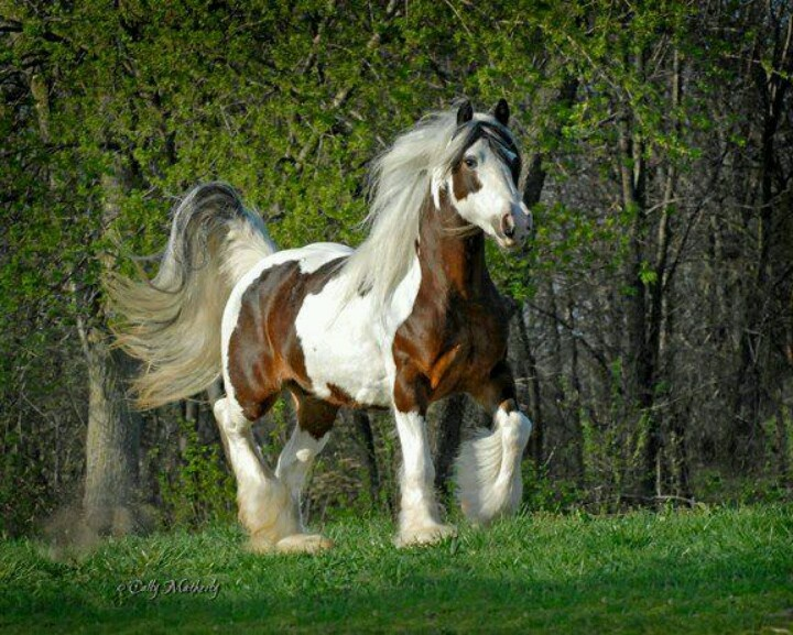 da08630701ae410401db5d5540319795-beautiful-pictures-gypsy-horse